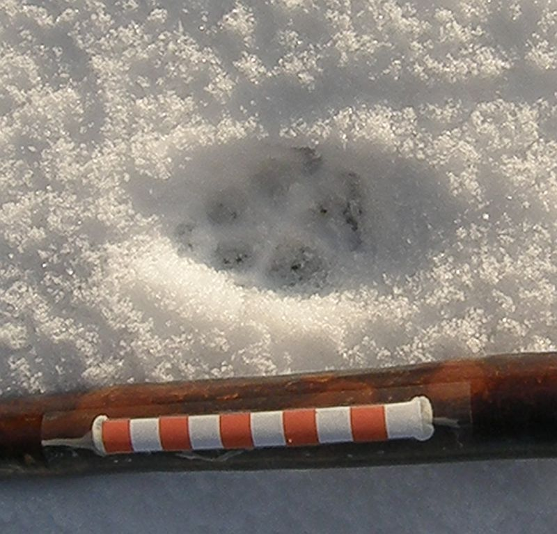 Fox track in snow