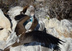 Blue-footed boobie mama feeding her nearly full-grown baby.