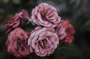 rose-615281_1280