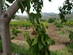 Mulberries. There are many stands that sell Mulberry juice in Şirince