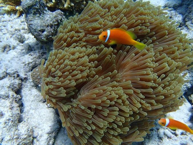 anemone-fish-558118_1920