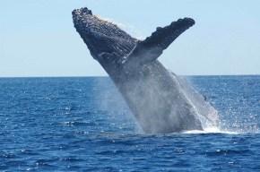 humpback-whale-1945416_1920