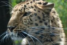 Dende, the Amur Leopard
