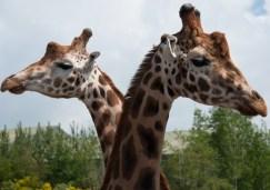 A two headed giraffe
