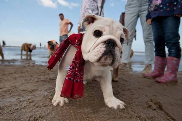 Baggy Bulldog Beach Wandeling