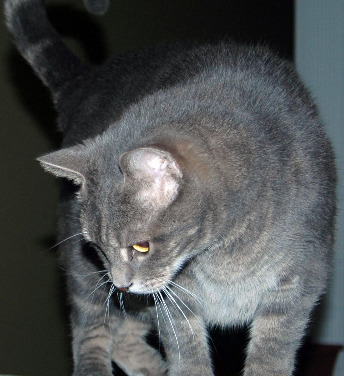 Bagheera the Diabetic Cat on the Catwalk