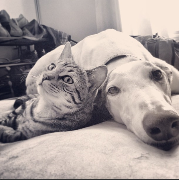 A Bengal Cat and Greyhound are best friends