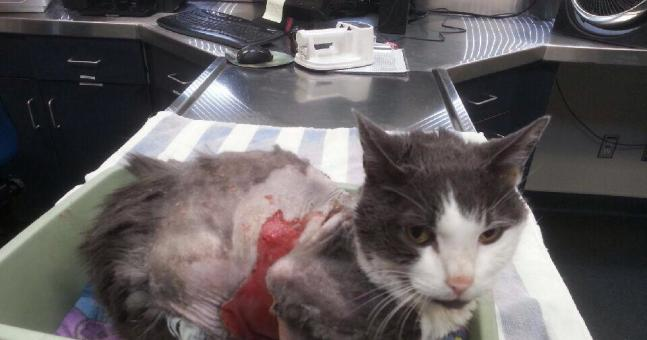 Animal Abuse Victim Vulcan Recovering
