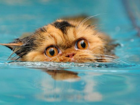 Cat Humor: Cat in Water