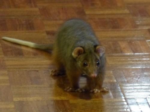 Our possum