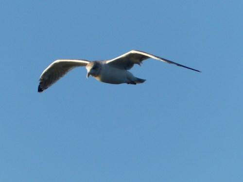 Helsinki seagull