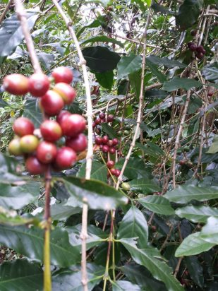 winaca eco cultural village coffee