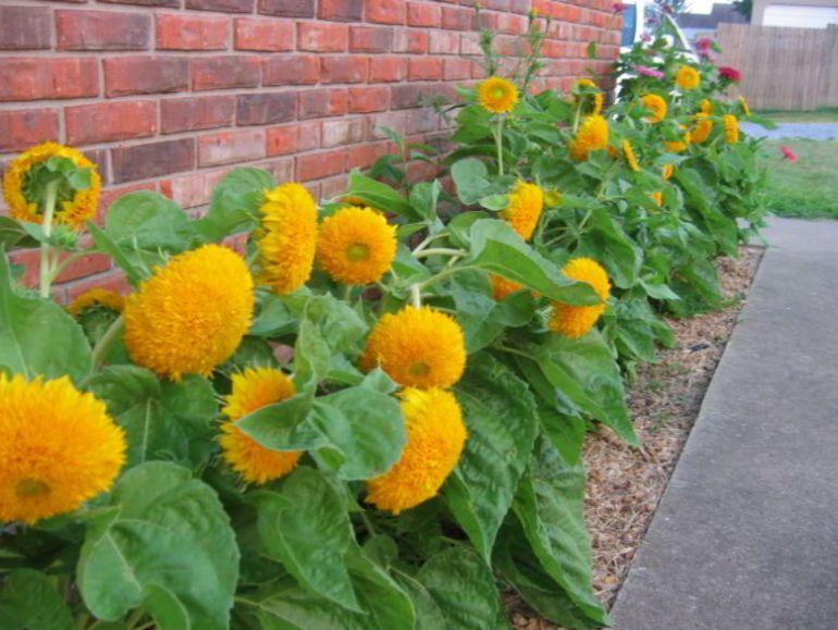sunflower species name