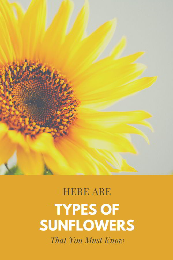 what type of sunflowers are there