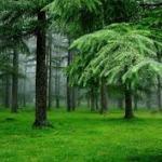 hutan pinus lagi