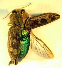 kumbang perusak kayu