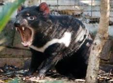 diable de tasmanie (1)