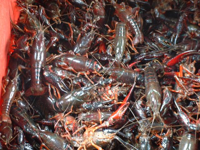 Crayfish for sale in El Meidan market in old Alexandria. They are quite cheap, and not much in demand it seems.