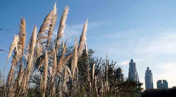 Cortaderas hipnóticas de la reserva ecológica de Buenos Aires