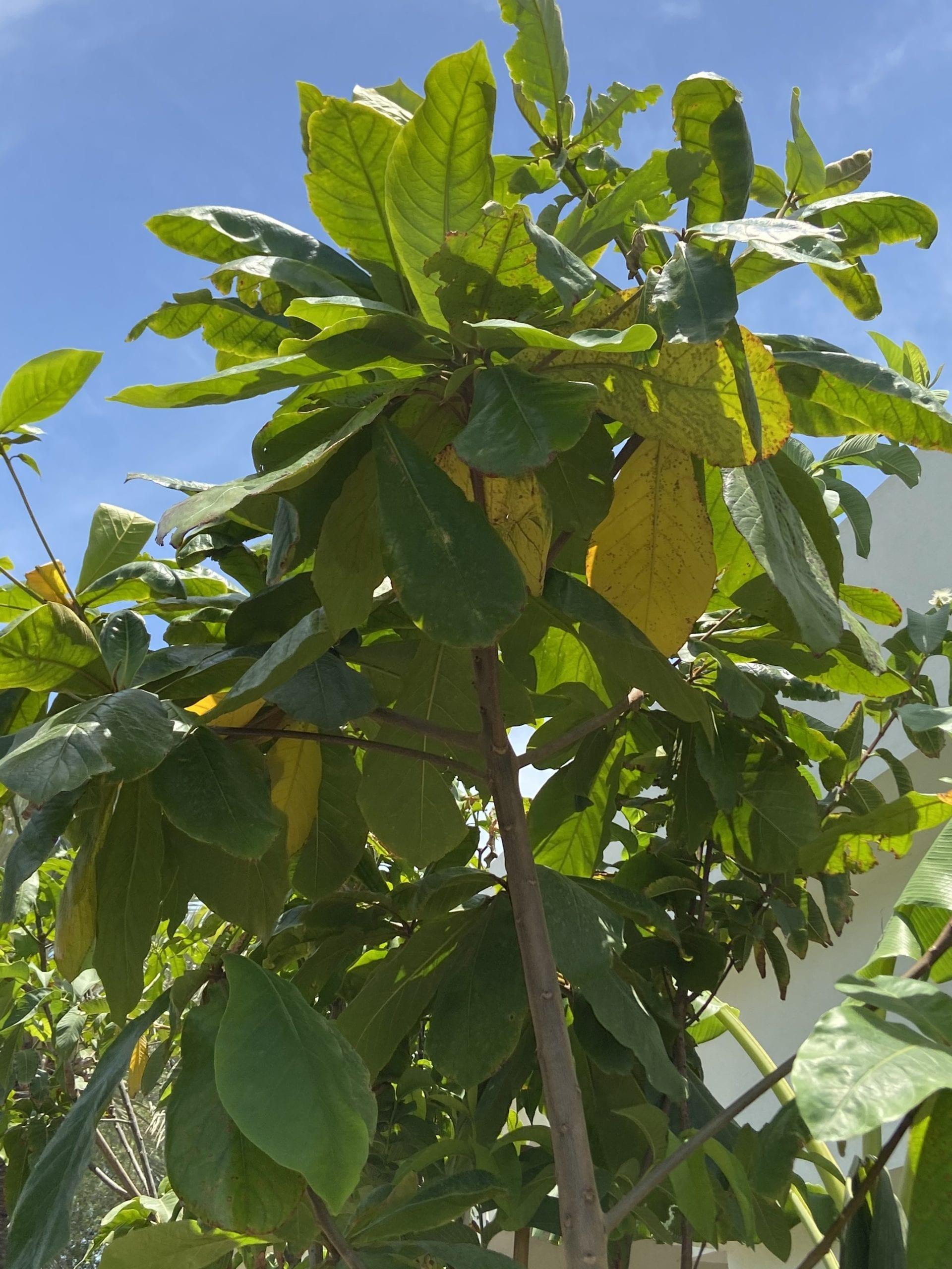 Big Emarati Looz Tree 4 meters - شجرة لوز كبيرة اماراتي ...