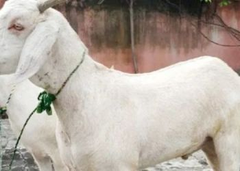 Suicide News | mumbai 23 years old boy commits suicide upset about sale of his goat man hangs self