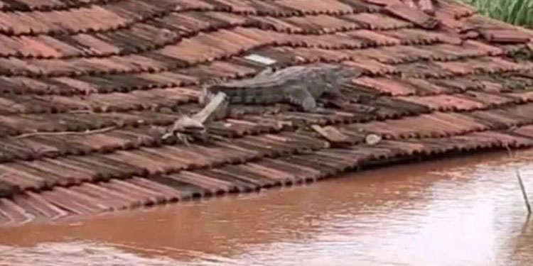 Sangli News The crocodile that came with the flood remained stuck on the roof of the house even after the water receded