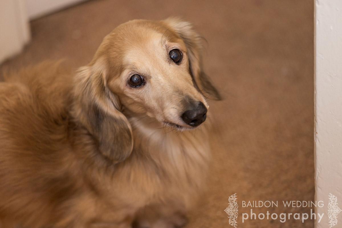 long haired sausage dog