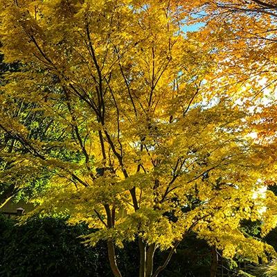 Autumnal tree