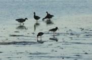 Feeding Shorebirds