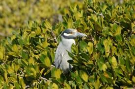 Night Heron in Mangroves