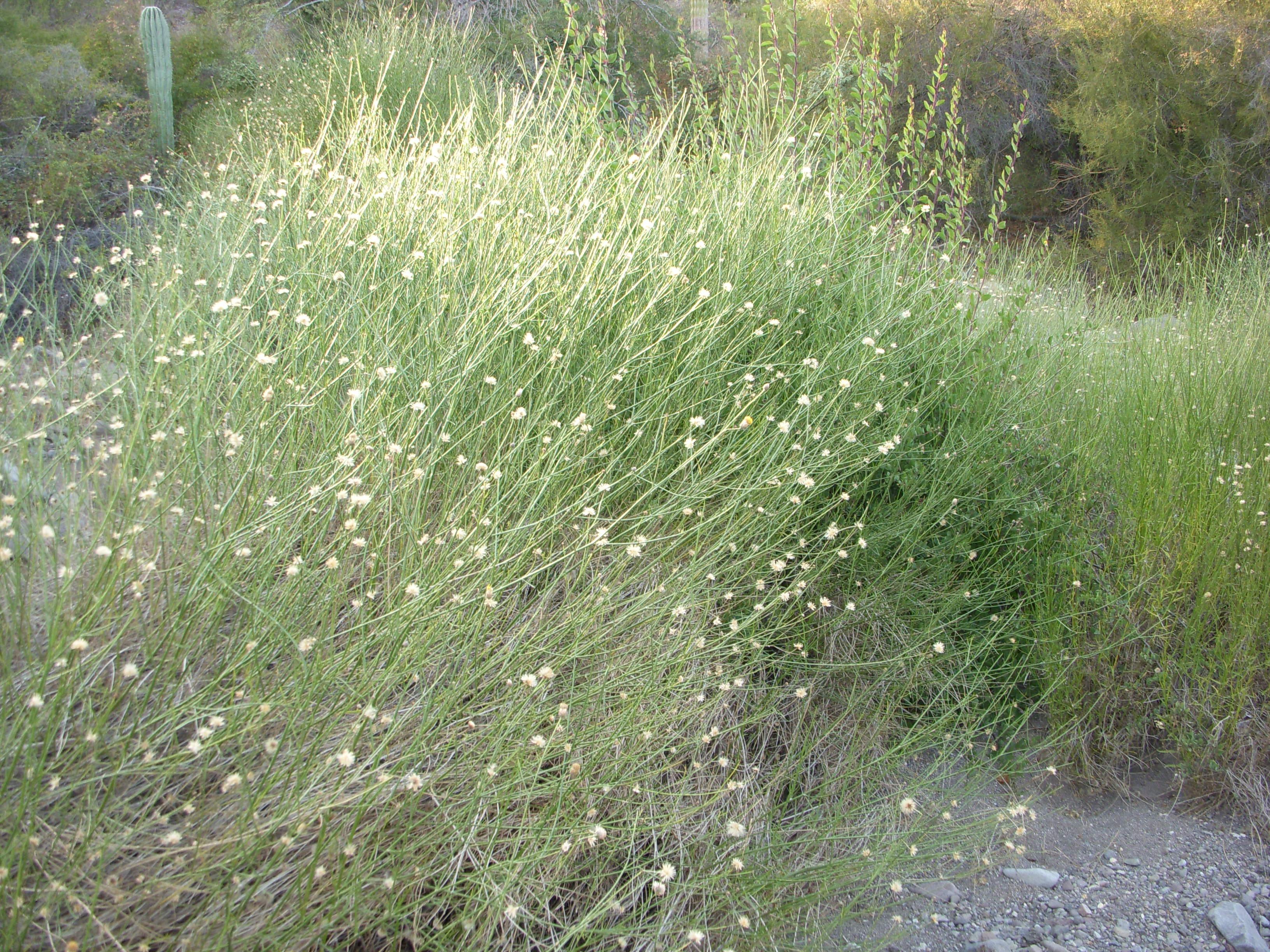 Flowering Desert Shrubs