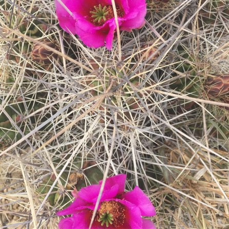 Pitaya Cactus in bloom