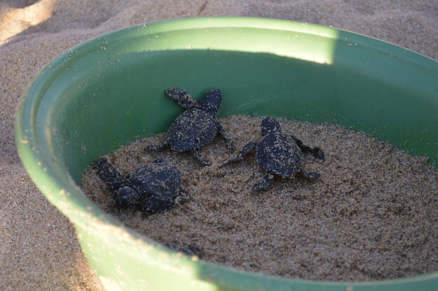three baby sea turtles awaiting a return to the ocean