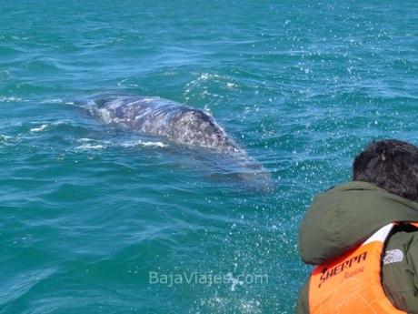 Encuentro cercano con la ballena gris en la Laguna Ojo de Liebre, cerca de Guerrero Negro.