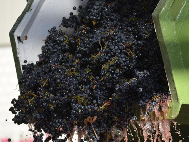 Descarga de uva durante la temporada de Vendimia, en la Casa Vinícola L. A. Cetto.