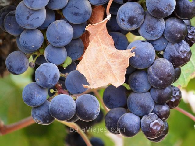 uvas-vinedos-ruta-vino-baja-california-2