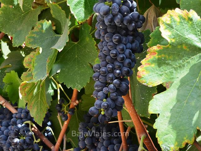 uvas-vinedos-ruta-vino-baja-california