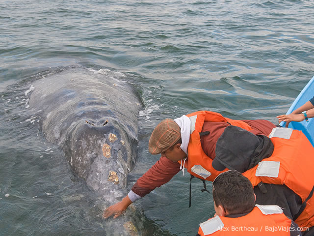 Contacto amistoso con ballena gris, en Laguna Ojo de Liebre, Guerrero Negro.