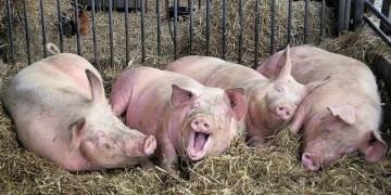Japón declara a México como país libre de fiebre porcina 10