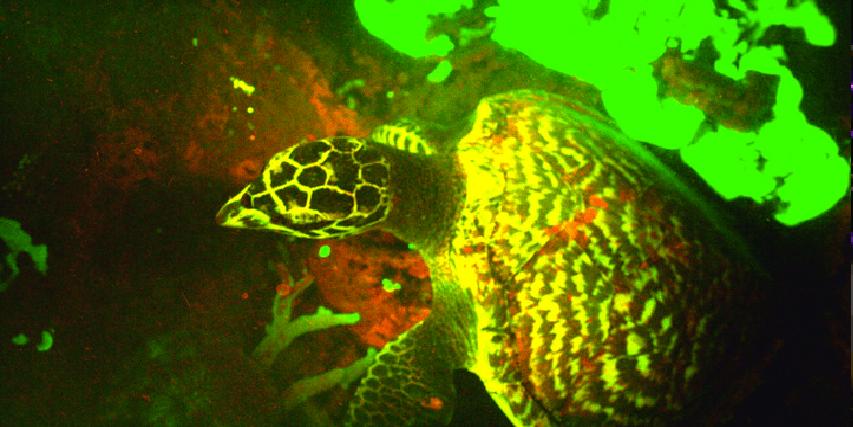 Biólogos marinos descubren una tortuga fluorescente
