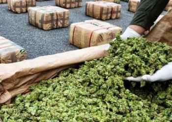 La mariguana ya no es negocio; cae el mercado por avance de la legalización en EU 6