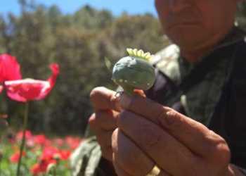 ONU: México es el tercer productor mundial de amapola 9