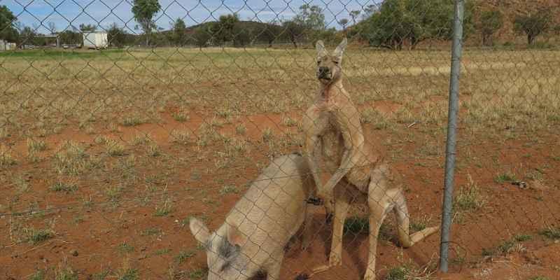 ¿Te imaginas a un canguro y una cerdita apareándose?