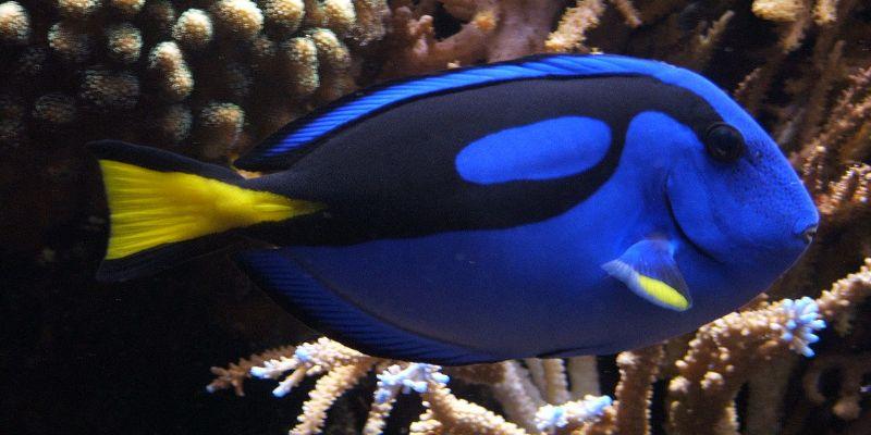 Logran criar en cautiverio al pez 'Dory' de Buscando a Nemo