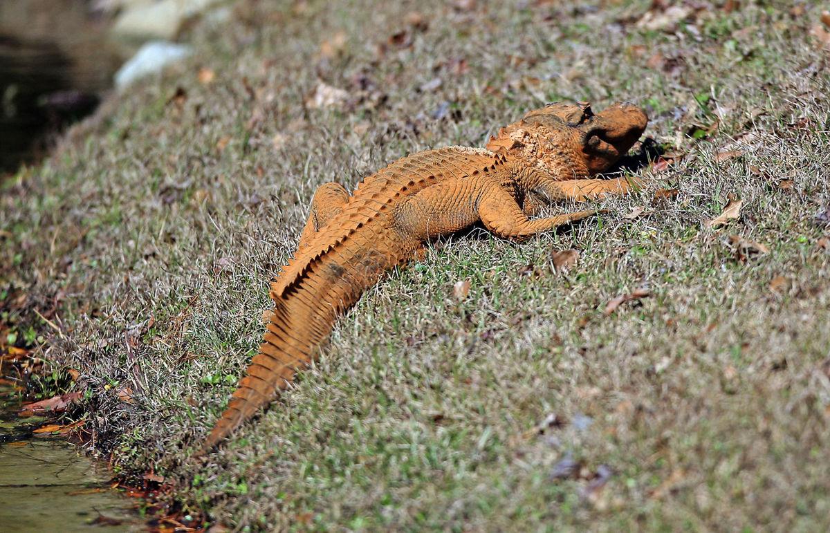 Trumpagator-cocodrilo-anaranjado