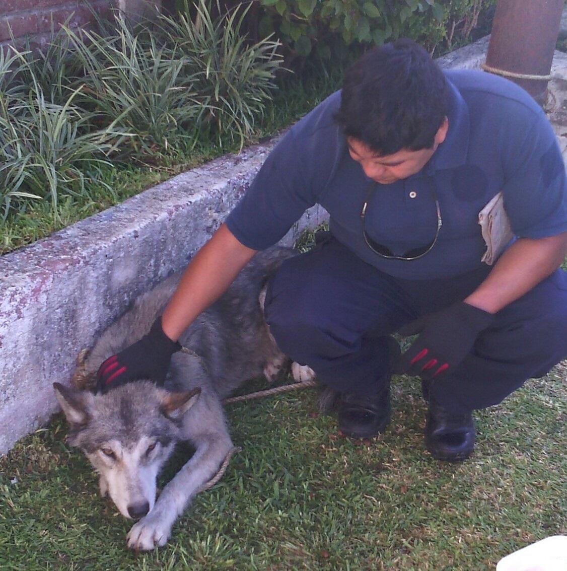 lobo-cuernavaca 2