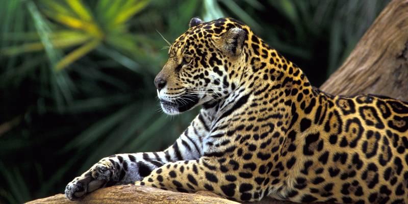 Encuentran jaguar en la sierra de Chilpancingo