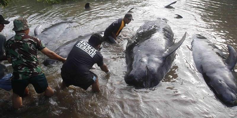 Mueren 4 ballenas al quedar varadas en una playa de Indonesia