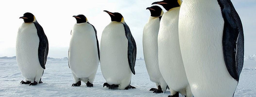 Fósiles revelan la existencia de un pingüino gigante