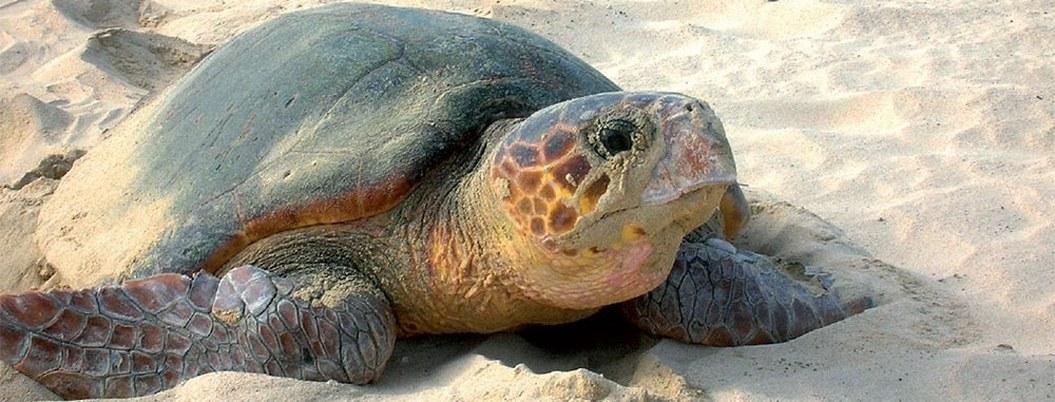 Semarnat avala proyecto hotelero en Tulum que afectará a tortugas